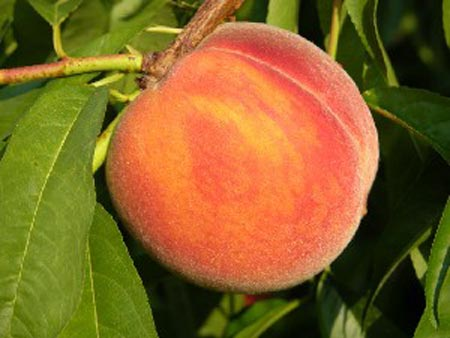 Garnet Beauty - Peach Varieties