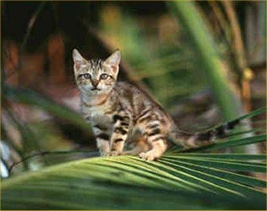 Cat Breeds Sokoke Information