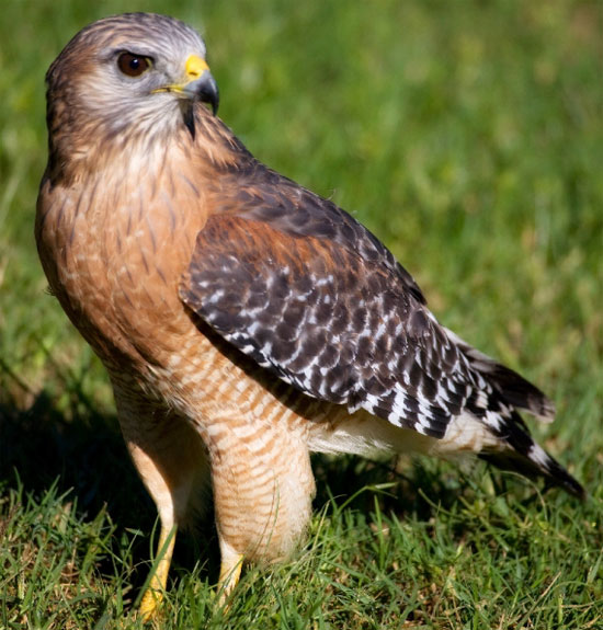 Red-shouldered Hawk - Bird Species | Frinvelis jishebi | ფრინველის ჯიშები