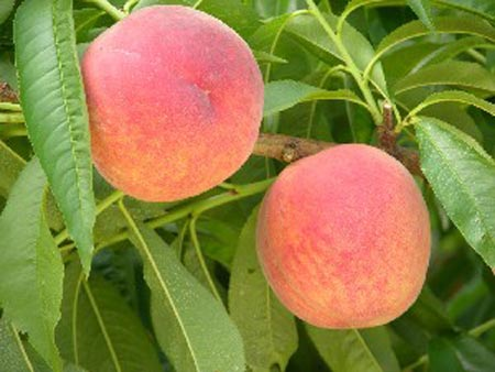 Glenglo - Peach Varieties