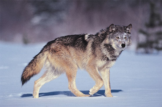 The Labrador Wolf - wolf species | mglis jishebi | მგლის ჯიშები
