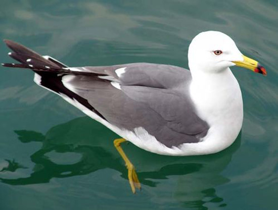 Black-tailed Gull - Bird Species | Frinvelis jishebi | ფრინველის ჯიშები