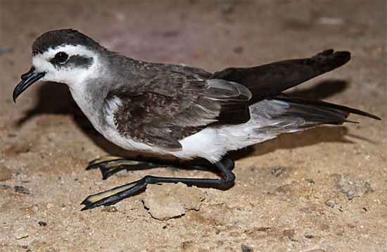 White-faced Storm-Petrel - Bird Species | Frinvelis jishebi | ფრინველის ჯიშები