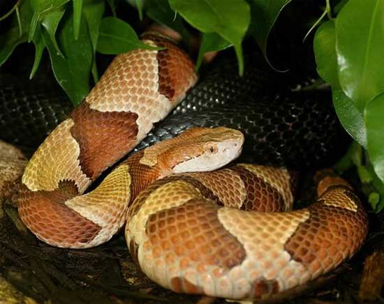 Agkistrodon contortrix phaeogaster  - Osage Copperhead - snake species | gveli | გველი