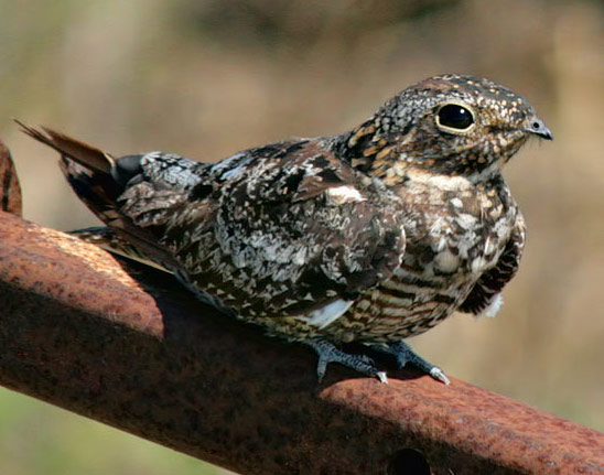Common Nighthawk - Bird Species | Frinvelis jishebi | ფრინველის ჯიშები