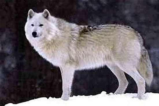 The  Bernard's Wolf - wolf species | mglis jishebi | მგლის ჯიშები