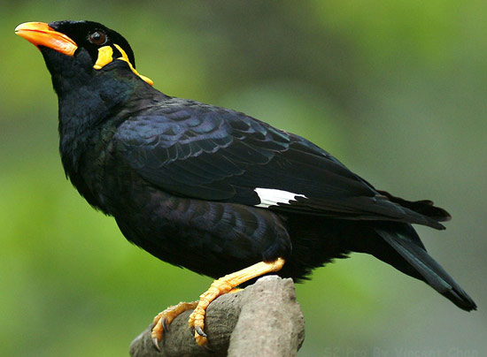 how to catch myna birds