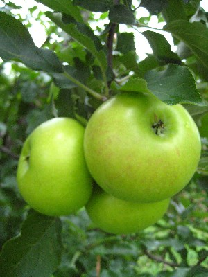 Summer Rambo - Apple Varieties