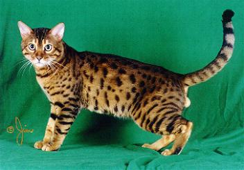 Cat Breeds Bristol Cats