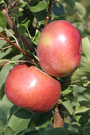 RubyMac - Apple Varieties