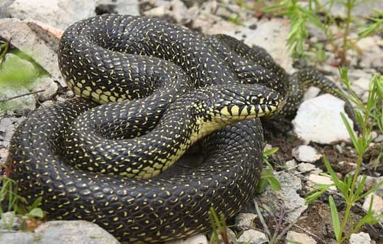 Lampropeltis getula holbrooki - Speckled Kingsnake - snake species | gveli | გველი