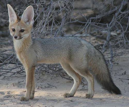 Fox Species Blanford S Fox