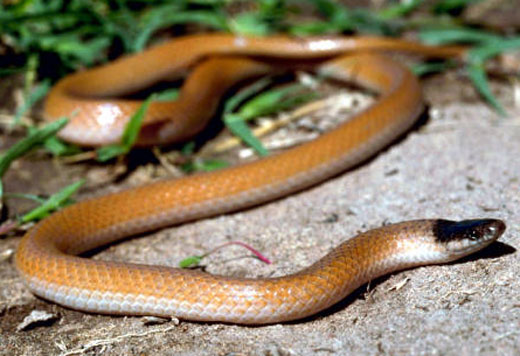 PLAINS BLACK-HEADED SNAKE  <br />Tantilla nigriceps - snake species | gveli | გველი