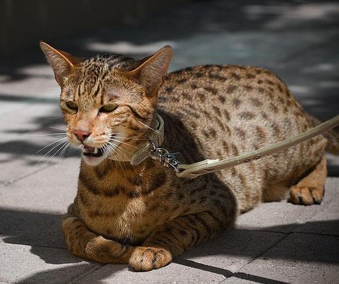 Tiger cat breed ashera 3 cat breeds