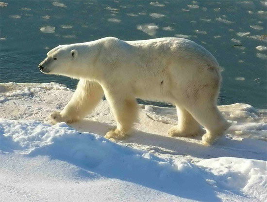 Polar Bear - bears species | datvis jishebi | დათვის ჯიშები