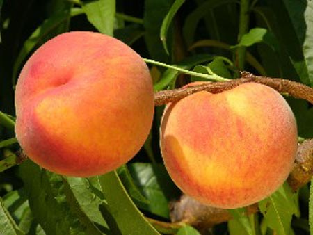 Jerseyqueen - Peach Varieties