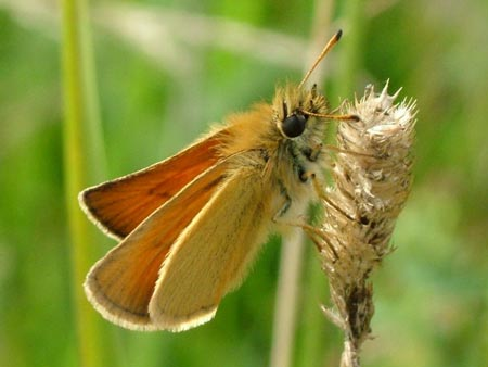 Essex Skipper - Butterfly species | PEPLIS JISHEBI | პეპლის ჯიშები