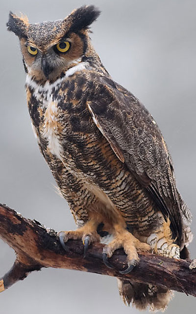 Great Horned Owl - Bird Species | Frinvelis jishebi | ფრინველის ჯიშები