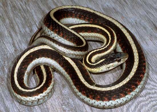 Thamnophis sirtalis 61357986gveli226