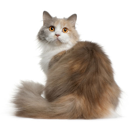 Cat breeds - British Longhair