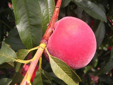Earlystar - Peach Varieties
