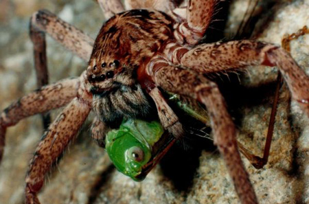 Brown Huntsman Spider - Spider species | OBOBAS JISHEBI | ობობას ჯიშები