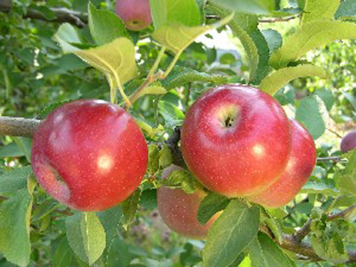 Crown Empire - Apple Varieties