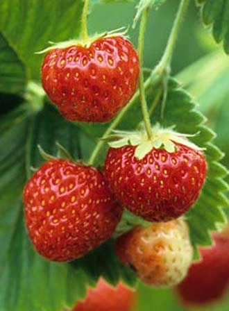 Pandora - Strawberry Varieties