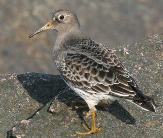 Purple Sandpiper - Bird Species | Frinvelis jishebi | ფრინველის ჯიშები