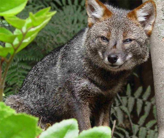 fox species darwins fox
