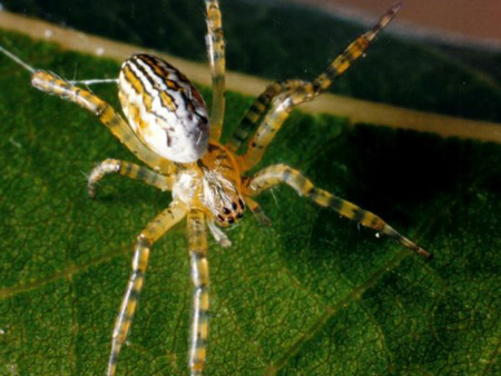 Dome Web Spider - Spider species | OBOBAS JISHEBI | ობობას ჯიშები