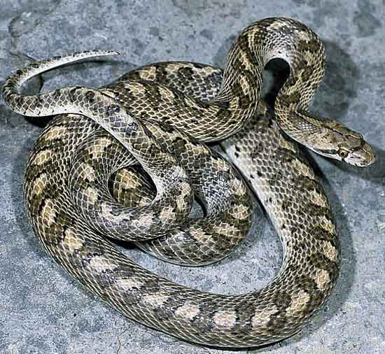 Arizona elegans occidentalis - California Glossy Snake - snake species | gveli | გველი