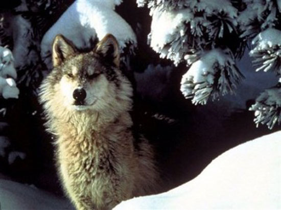 The Interior Alaskan Wolf - wolf species | mglis jishebi | მგლის ჯიშები