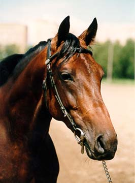 Horse Breeds Russian Trotter