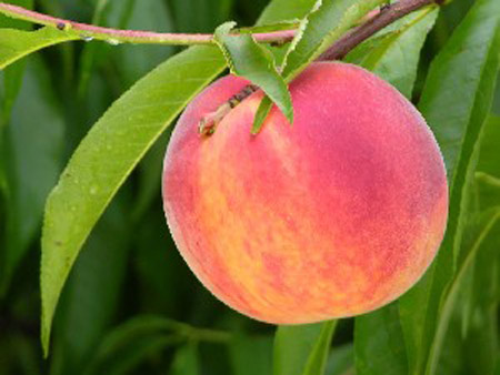 Bounty - Peach Varieties