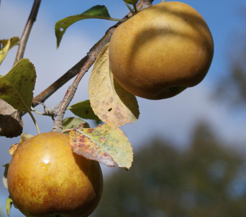Golden Russet - Apple Varieties