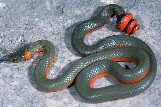 Diadophis punctatus pulchellus - Coral-bellied Ring-necked Snake - snake species | gveli | გველი