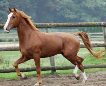 Horse Breeds Gelderlander