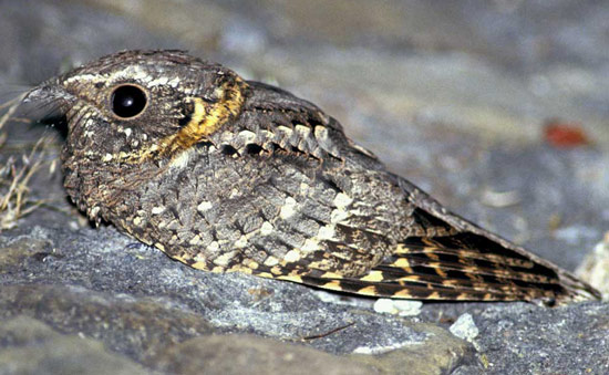 Buff-collared Nightjar - Bird Species | Frinvelis jishebi | ფრინველის ჯიშები