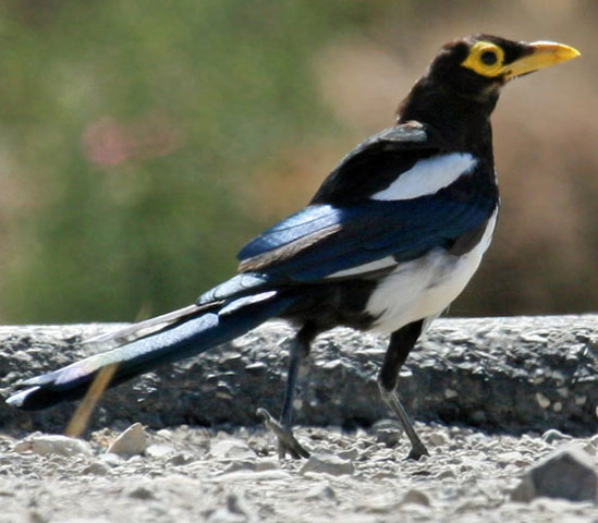 Yellow-billed Magpie - Bird Species | Frinvelis jishebi | ფრინველის ჯიშები