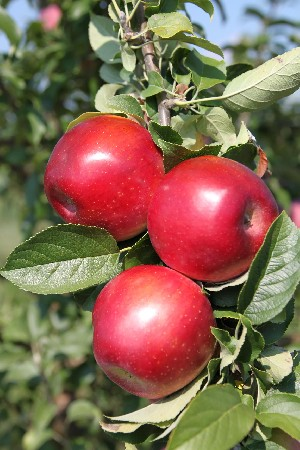 Jonamac - Apple Varieties