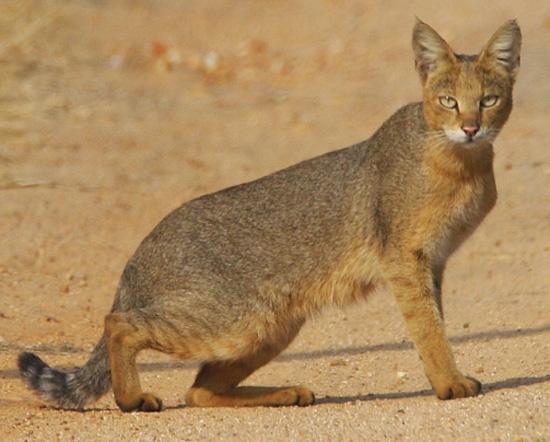 Jungle Cat - wild cats - lynx | ფოცხვერი | focxveri