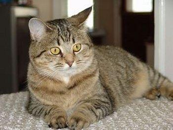 Cat Breeds Pixiebob Information