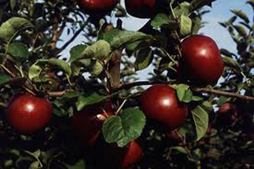 Acey Mac - Apple Varieties