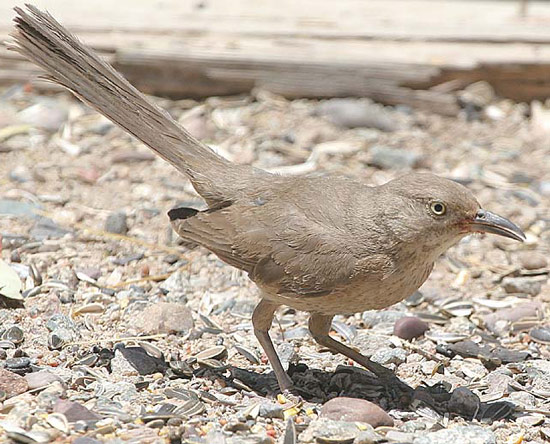 Bendire's Thrasher - Bird Species | Frinvelis jishebi | ფრინველის ჯიშები
