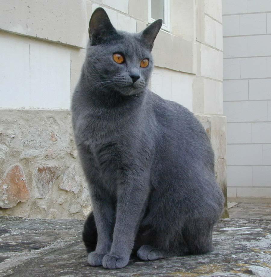 Cat breeds Chartreux Information