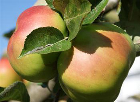 Bramley's Seedling - Apple Varieties