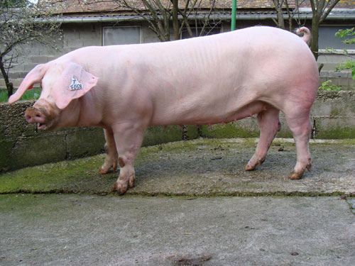 French Landrace - pig breeds | goris jishebi | ღორის ჯიშები