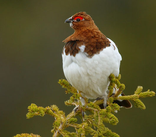 Willow Ptarmigan - Bird Species | Frinvelis jishebi | ფრინველის ჯიშები