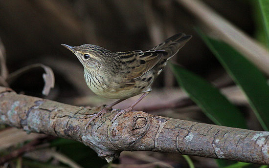 Lanceolated Warbler - Bird Species | Frinvelis jishebi | ფრინველის ჯიშები